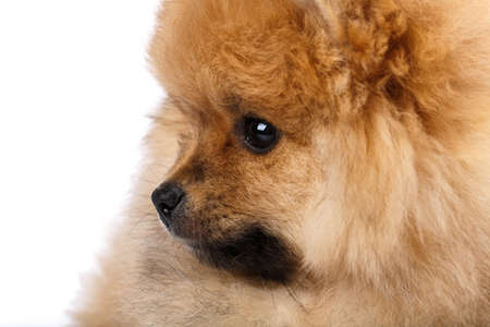 Close up of fluffy little Pomeranian Spitz sitting sideways and looking straight. Stock fotó