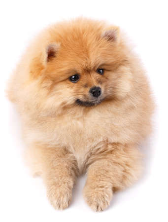 Pomeranian Spitz posing in front of camera on white background.