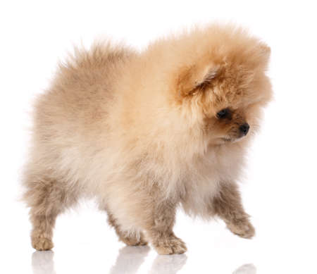 Fluffy light brown Pomeranian Spitz stands on a white background.