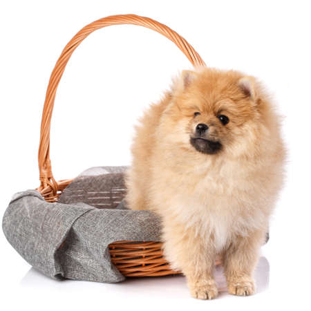 Beautiful dog Pomeranian Spitz climbs out of a wicker basket and looks away.