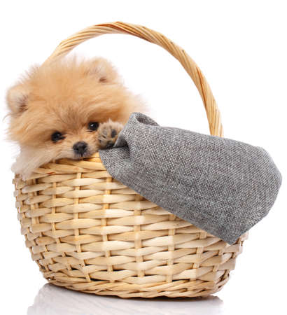 Pomeranian Spitz in a wicker basket isolated on white background. Stock fotó
