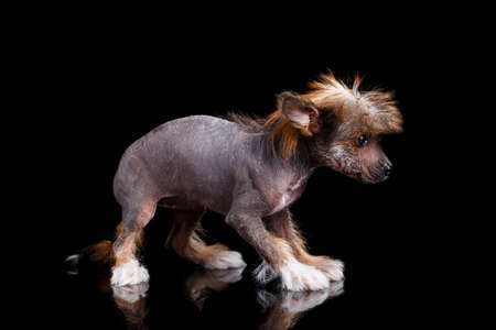 Chinese Crested puppy stands sideways to the camera and is playful and interested in watching something. 스톡 콘텐츠