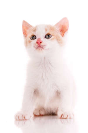 White and red kitten looks up. Isolated.