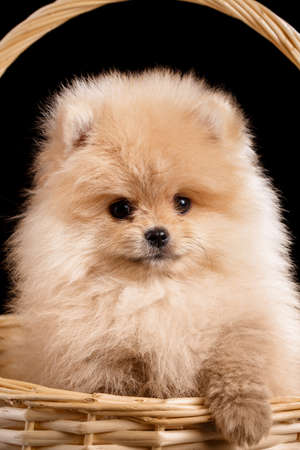 Long haired red Pomeranian Spitz puppy sits in a wicker basket.