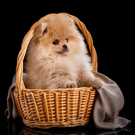 Cute fluffy Pomeranian puppy spitz sitting in a basket on a gray knit fabric.