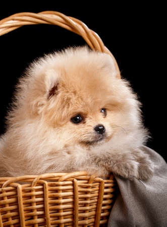 Portrait of a Pomeranian Spitz puppy in wicker basket on black background.