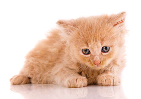 Kitten with a sad expression lies on a white background. 스톡 콘텐츠