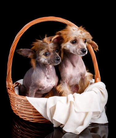 Portrait of two Chinese crested dogs sitting in a wicker basket on a black background.