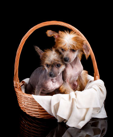wo Chinese Crested dogs sit in a wicker basket. 스톡 콘텐츠