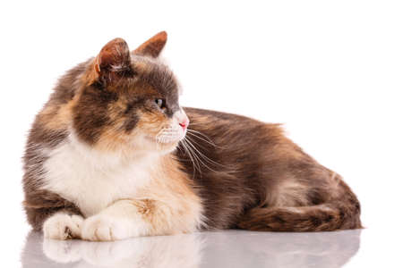 Tricolor cat lies on a white background. 스톡 콘텐츠