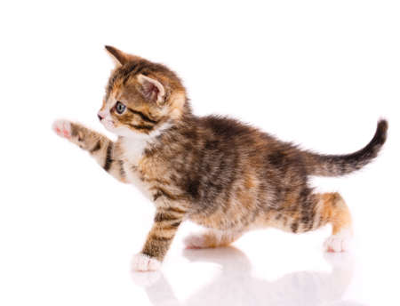 Small playful brown kitten on a white background.