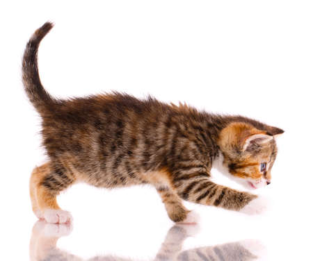 Tricolor kitten is playing on a white background in front of the camera.