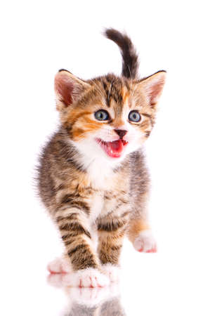 Tricolor kitten meows on a white background. 스톡 콘텐츠