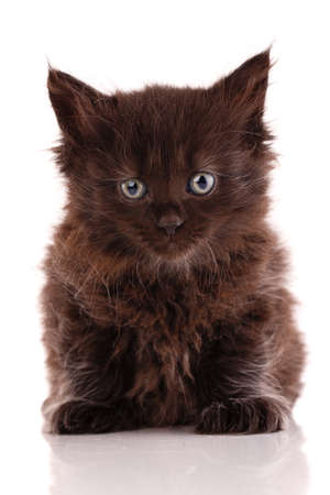 Black kitten with long fur sits on a white background and looks straight into the camera. Banque d'images