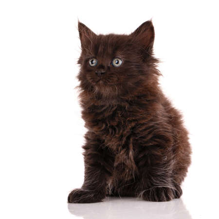 Black small cat with long fur sits on a white background and looks around.