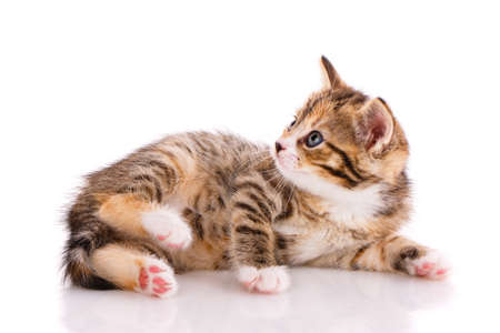Kitten with beautiful fur lies on a white background and looks to the side. Side view.