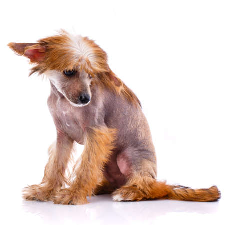 Chinese Crested Dog sitting on white background and looks down. Banque d'images