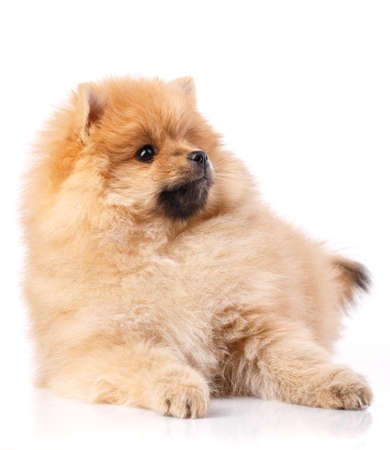 Portrait of a lying Pomeranian Spitz dog on a white background. Studio portrait of fluffy puppy. Banque d'images