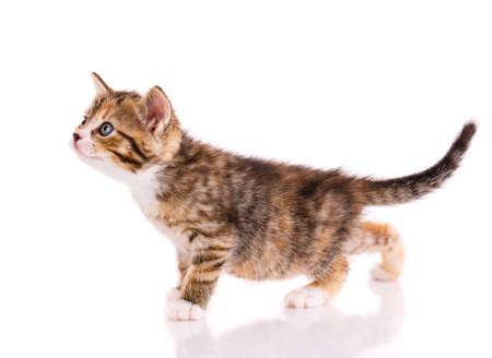Striped kitten stands on a white background. Side view. Banque d'images