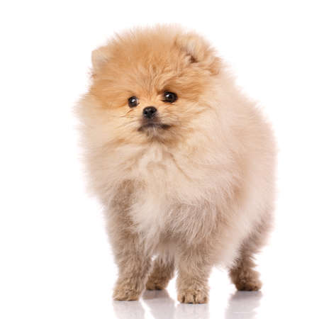 Lovely pomeranian puppy in studio on white background. Cute dog posing in front of the photographer's camera.
