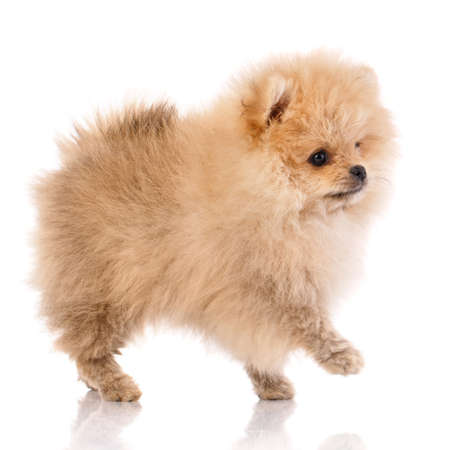 Miniature Pomeranian Spitz puppy standing on white background. Side view.