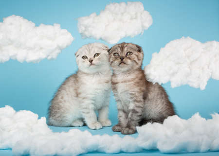 Two striped kitten of Scottish breed sitting on a blue background among the clouds. 版權商用圖片
