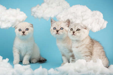 Three scottish kittens looking intently on a blue background.