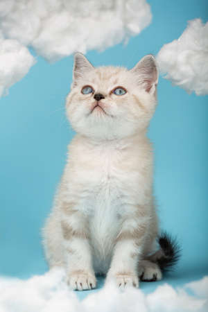 Tabby scottish cat with blue eyes sitting on a blue background among white clouds. 版權商用圖片