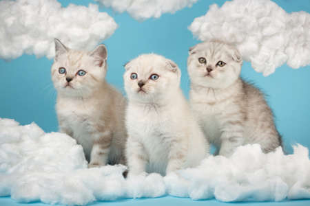 Short-haired Scottish kittens of light beige color sit among the cotton clouds.