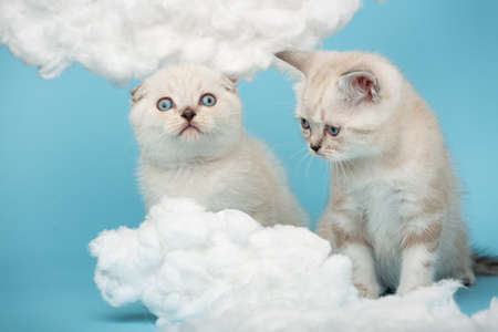 Scottish kittens with great interest looking at cotton clouds on a blue background.