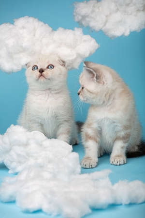 Small kitten is looking at another kitten that is looking up on a blue background. 版權商用圖片