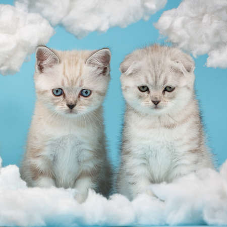 Two Scottish kittens look very funny at a cloud made of cotton.