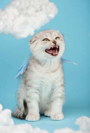 Scottish kitten dressed in blue wings meows loudly among the cotton clouds.