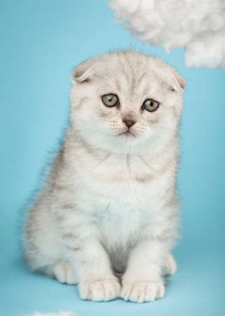 Close up portrait of a small playful scottish kitten on a blue background.