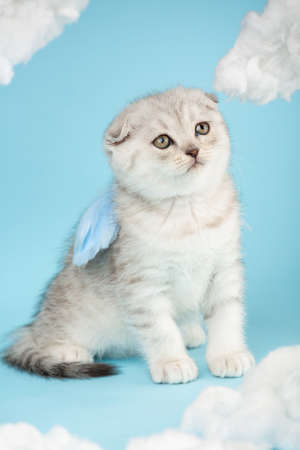 Angel shaped scottish kitten with blue little wings sits on a blue sky background among clouds.