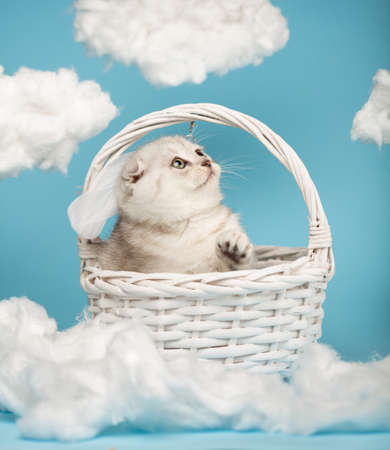 Light gray scottish kitten is playing sitting in a white wicker basket raising his head and paw up.