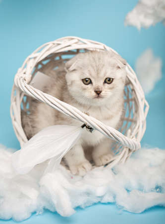 Scottish kitten sits in an overturned wicker basket among cotton wool on a blue background.