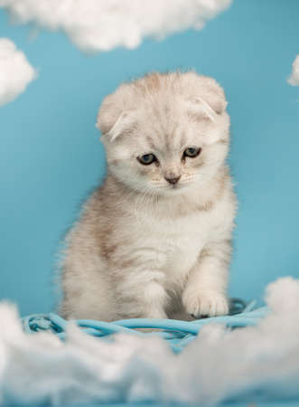 Kitten who wants to play sits and watches a toy on a blue background.