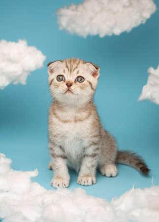 Portrait of a lovely fluffy Scottish kitten on a blue background.