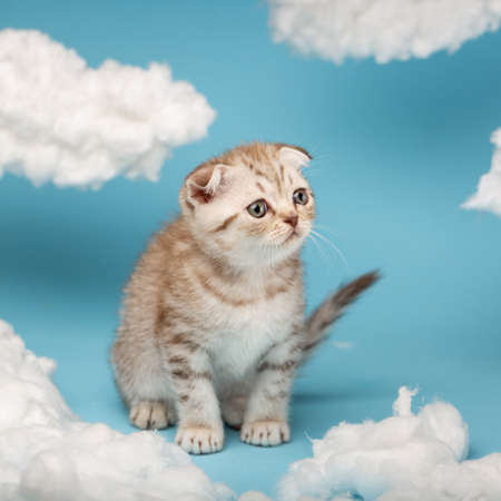 Scottish kitten playing between clouds made of cotton on a blue background.