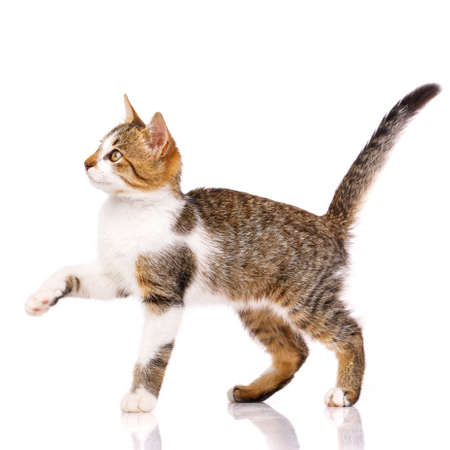 Cute domestic shorthair kitten stands sideways on a white background with raised paw and looks up. Adorable domestic pets. Isolated.