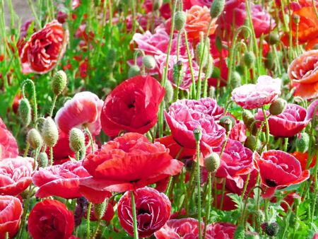 red poppies  photo