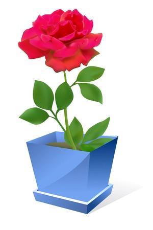 plant pot: red rose flower in pot om white background