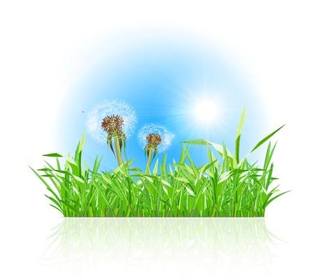 blowing dandelion: Green grass ith dandelion on white background.