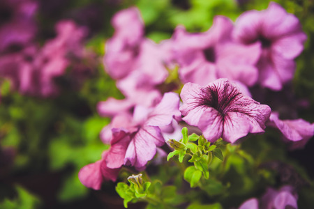 Beautiful petunia flowers in the garden photo