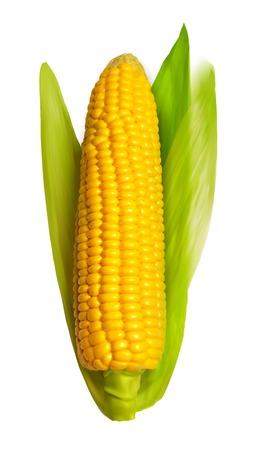 corncob: Realistic corn ear isolated on white. Vector illustration