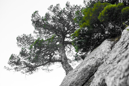 Lonely tree in the rocky mountains, as a symbol of endurance and vitality in difficult living conditions. A tree like bonsai