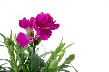 Beautiful pink carnation against the white background Stock Photo
