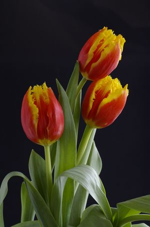 Beautiful tulips against the black background Stock Photo