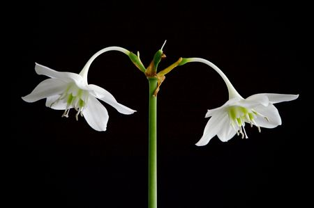 White flowers against the black background